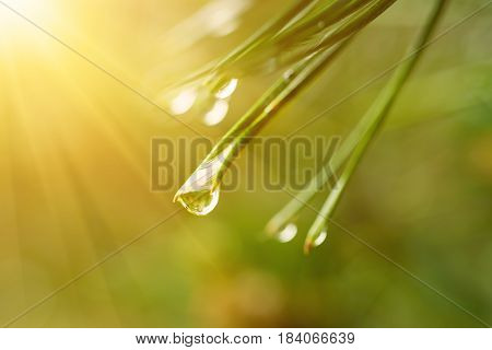 Abstract background from conifer evergreen pine tree branches with dew water drops and sunlight, natural outdoor concept