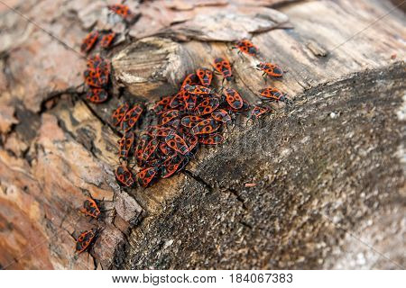 Black And Red Firebug Or Pyrrhocoris Apterus, On A Old Tree Trunk