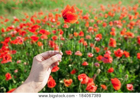 Nature, spring, summer, blooming flowers concept - close-up on red poppy in a hand of a person on a bright red and green background of poppy flowers.