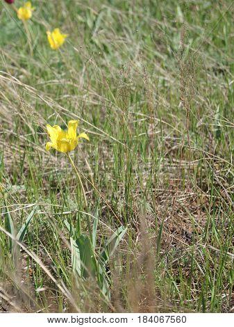 Wild Tulips Schrenk Also Tulipa Gesneriana Or Didier's Tulip Or