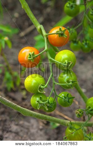 Greeny Cherry Tomatoes - A Bunch Unripe Cherry Tomatoes In A Greenhouse.