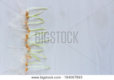 Row of wheat sprouts on light background. Healthy food concept. Space for text