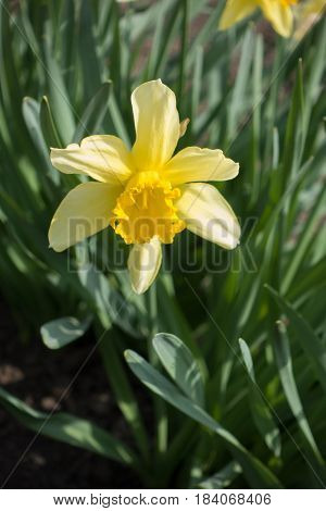 Close Up Of Single Yellow Daffodil In Spring Park