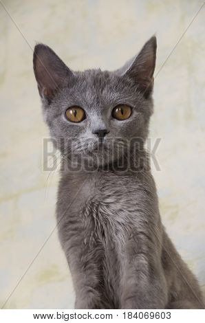 British Shorthair cat is sitting and looking