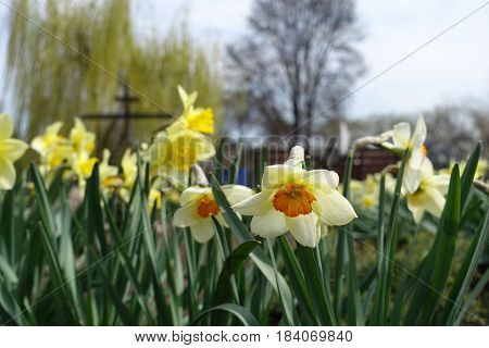 Yellow And White Narcissuses In The Park In Spring