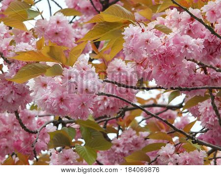 pink spring cherry blossom with green leaves