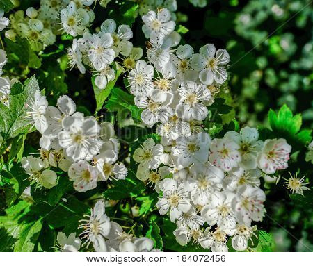 Beautiful Hawthorn blossom in April close-up view.