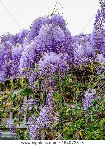 Wisteria growing and flowering profusely on a roof