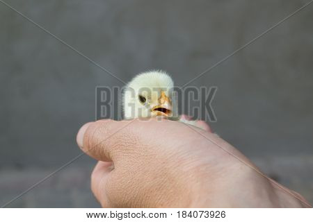 holding in hands beautiful spring chicken little