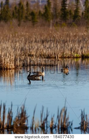 Canada geese (branta canadensis) swimming in a Wisconsin marsh in April