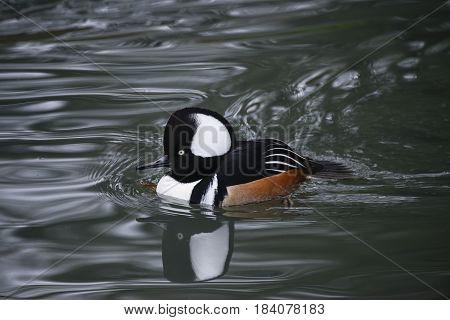 Beautiful Portrait Of Hooded Meganser Duck Bird On Water In Spring