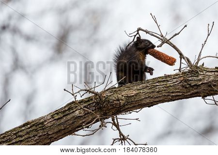 Gray squirrel, black phase, (Sciurus carolinensis) in a tree with a small corn cob in his mouth