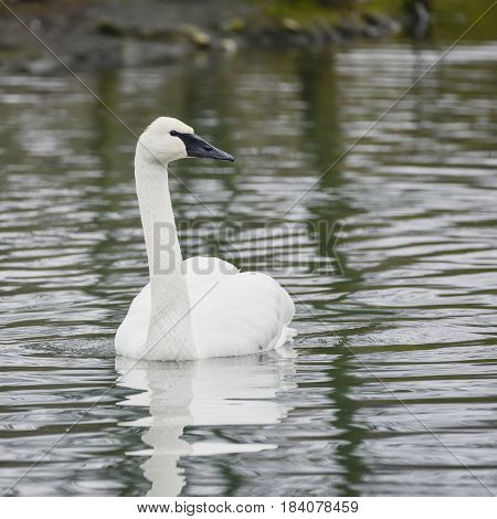Eautiful Portrait Of Trumpeter Swan Cygnus Buccinator On Water In Spring