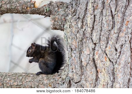 Gray squirrel-Black phase (Sciurus carolinensis) sitting in a tree eating