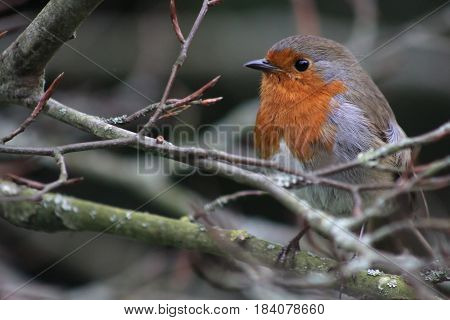 A Red Breasted Robin on a tree branch looking to the left
