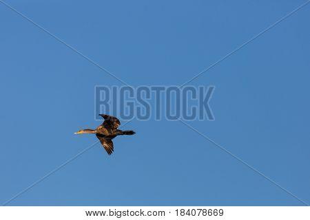 Double-crested Cormorant (Phalacrocorax auritus) juvenile flying across a Wisconsin blue sky