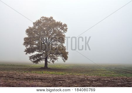 Wrapped in fog lonely tree in the middle of the field.