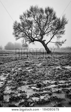 A lone tree with frost and fog Enshrouded morning.