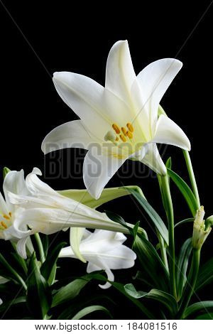 white lily flower against a black background