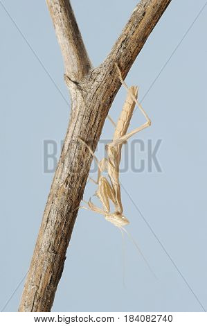 Small Mantis  On A Branch