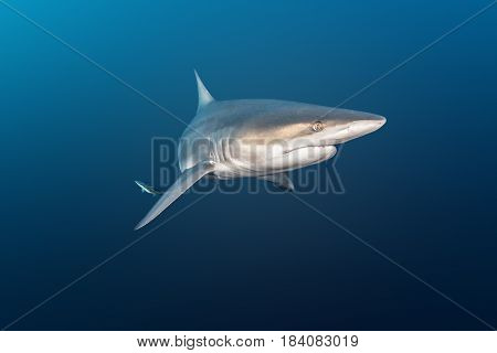 Oceanic Blacktip Shark at Protea Banks, South Africa