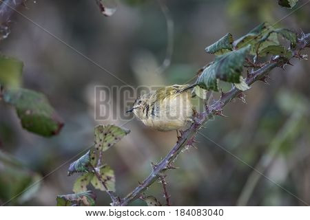Beautiful Tiny Female Goldcrest Regukus Regulus Bird Perched In Tree In Winter