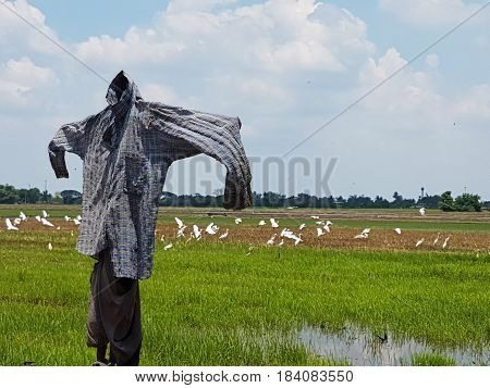 Thai scarecrow on a field with birds,Close up of Scarecrow in rural area of Thailand