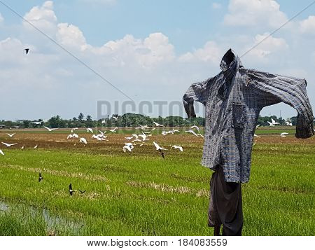 Thai scarecrow on a field with birds,Close up of Scarecrow in rural area of Thailand.
