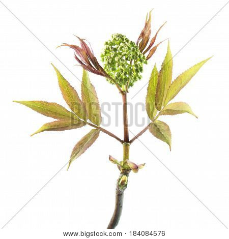 Leaves and buds of the red elderberry (Sambucus racemosa) isolated on white background