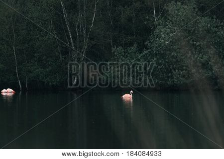 Flamingos floating in a lake near bushes.