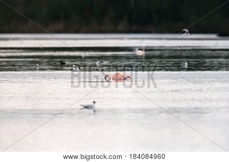 One Eating Flamingo Floating In Lake With Black-headed Gulls.