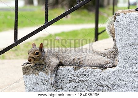grey squirrel mammal outdoor resting on stairs