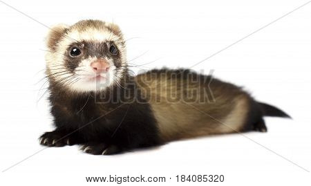 Ferret standing in front of a white background
