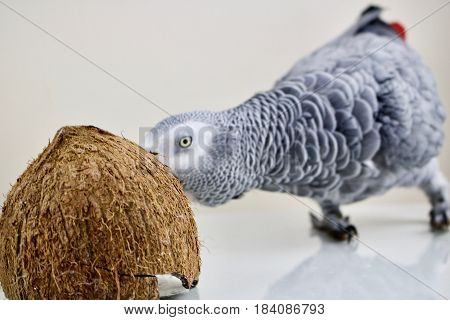African grey parrot with a brown coconut
