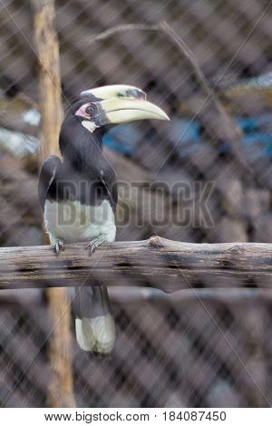 Oriental Pied Hornbill (Anthracoceros albirostris) in the zoo of thailand