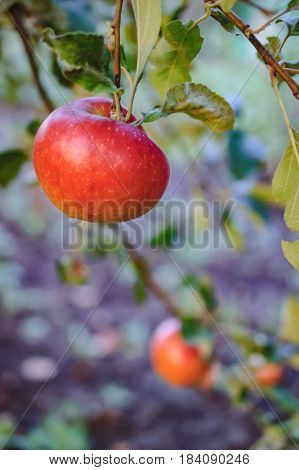 Red apples on apple tree. Branches down to the ground under the weight of the fruit in the garden. Selective focus