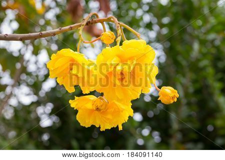 Cotton Tree Yellow Silk Cotton Butter Cup with bokeh background