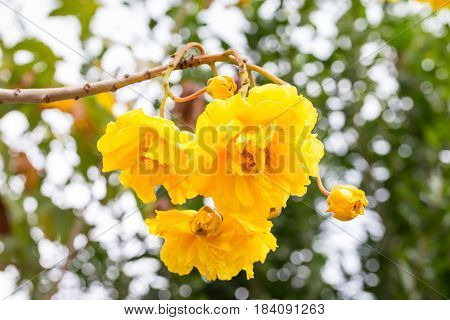 Cotton Tree Yellow Silk Cotton Butter Cup flower with bokeh background