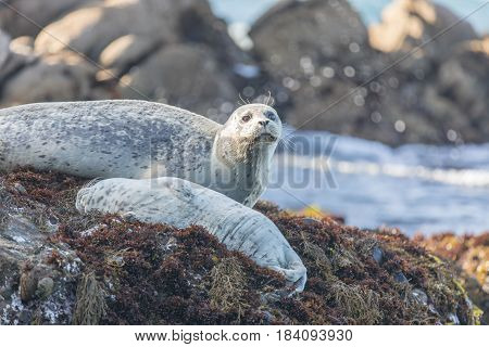 Spotted Adult Harbor Seals - Phoca vitulina. Point Lobos State Natural Reserve, Monterey Coast, California, USA.