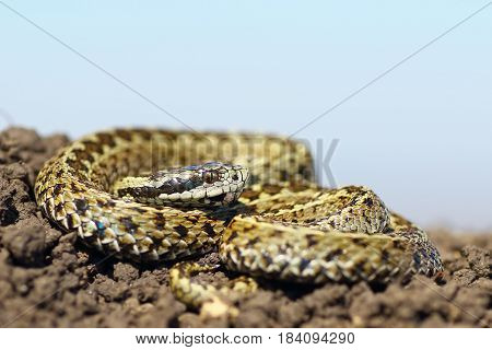 beautiful male meadow adder ( Vipera ursinii rakosiensis the rarest snake in Europe )