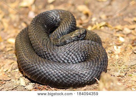 black nikolsky adder on the ground ( Vipera berus nikolskii )