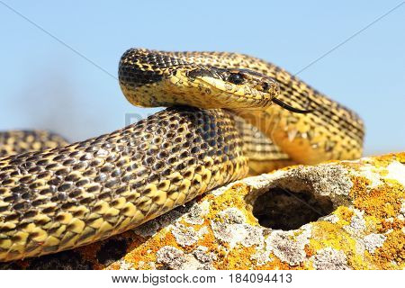 blotched snake ready to attack ( Elaphe sautomates snake in natural rocky habitat )
