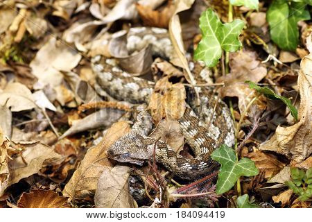 camouflage of nose horned viper in natural habitat ( Vipera ammodytes )