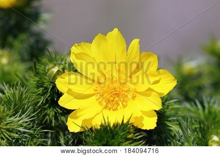 closeup of pheasant's eye yellow flower in spring ( Adonis vernalis )