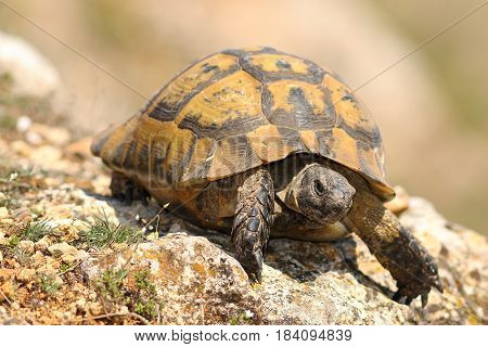 closeup of wild Testudo graeca in natural habitat image taken in spring after hibernation ( spur-thighed tortoise )