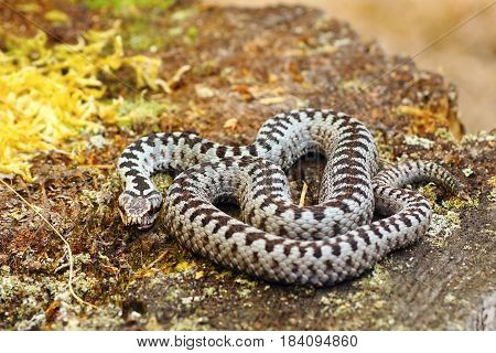 common european crossed adder basking in natural habitat ( Vipera berus )