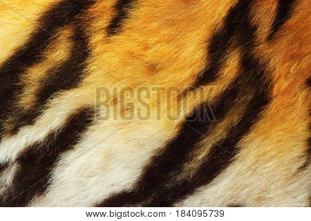 detail of tiger fur close up of real wild animal pelt
