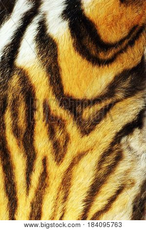 detail on stripped tiger fur real wild animal pelt texture for your design