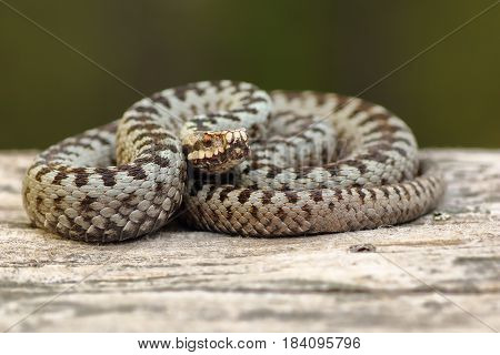 european crossed adder basking on wood stump ( Vipera berus a venomous widespread european snake )