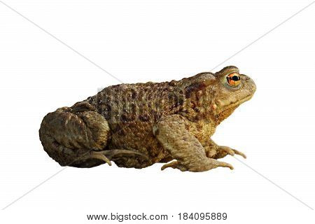 common brown toad isolated over white ( Bufo ) full length animal
